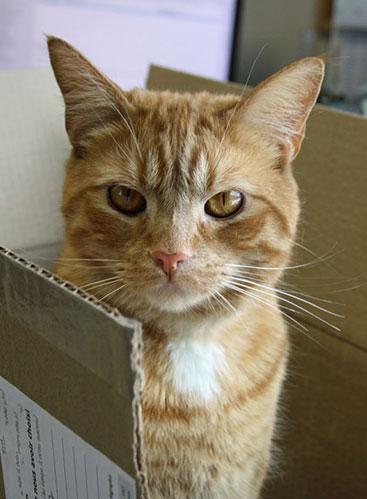 Chat dans une petite boîte