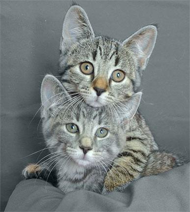 Petits chats stérilisation Clinique Vétérinaire des petits animaux de l'Estrie
