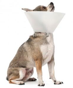 Article de blogue Devrais-je faire stériliser mon chien? Pourquoi? Quand?
