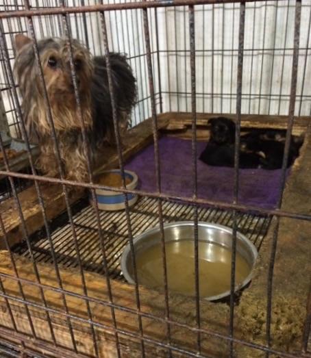 Article de blogue Saisie dans une usine à chiots, vue par une vétérinaire